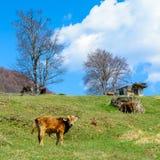 Vitelli e mucche che mangiano la prima erba della molla sulle colline rumene Immagini Stock