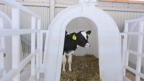 Vitelli e piccole mucche che si alimentano l'azienda agricola del diario stock footage