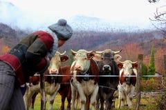 vitelli e ragazza maschii svizzeri Immagini Stock Libere da Diritti