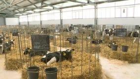Vitelli su un allevamento I giovani vitelli in diverse cellule quarantined Nelle circostanze sterili video d archivio