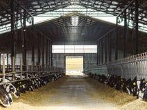 Vitelli in un'azienda agricola di bestiame Stabilimento lattiero-caseario immagini stock libere da diritti