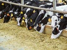 Vitelli in un'azienda agricola di bestiame Stabilimento lattiero-caseario fotografia stock