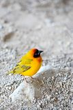 Masked weaver Royalty Free Stock Images