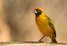 Vitelline masked weaver Royalty Free Stock Images
