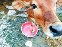 vitello Immagine Stock