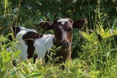 vitello Fotografia Stock