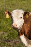 vitello Fotografie Stock Libere da Diritti