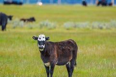 vitello Immagini Stock Libere da Diritti