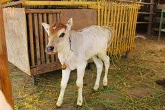 vitello Fotografia Stock Libera da Diritti