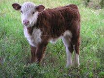 Vitello appena nato Fotografia Stock Libera da Diritti