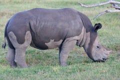 Vitello bagnato di rinoceronte in Camo Immagine Stock