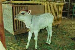 Vitello in bestiame Immagini Stock
