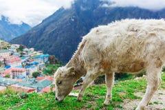 Vitello bianco della montagna Fotografie Stock Libere da Diritti