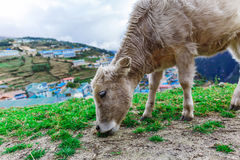 Vitello bianco della montagna Fotografia Stock Libera da Diritti