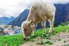 Vitello bianco della montagna Immagini Stock Libere da Diritti