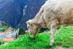 Vitello bianco della montagna Fotografia Stock