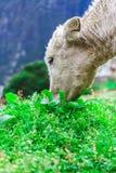 Vitello bianco della montagna Immagini Stock