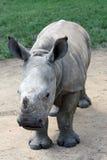 Vitello bianco di rinoceronte Fotografia Stock Libera da Diritti