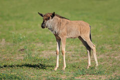 Vitello blu del wildebeest fotografie stock libere da diritti