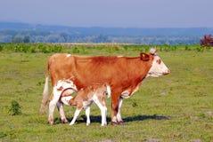 Vitello che si alimenta con il latte dalla mucca Fotografie Stock Libere da Diritti