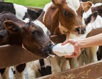 Vitello che si alimenta dalla bottiglia per il latte Immagine Stock Libera da Diritti