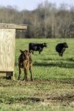 Vitello con le mucche nel fondo - verticale immagine stock