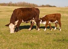 Vitello d'alimentazione della mucca nel campo Immagini Stock