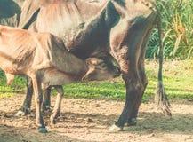 Vitello d'alimentazione Il latte alimentare del giovane vitello da è mucca della madre immagini stock libere da diritti
