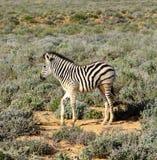 Vitello del bambino delle zebre del Sudafrica Immagini Stock Libere da Diritti