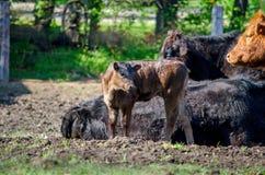 vitello del bambino su un'azienda agricola Fotografie Stock