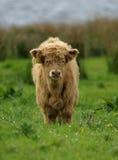 Vitello del bestiame dell'altopiano fotografie stock libere da diritti