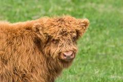 Vitello del bestiame dell'altopiano di gran lunga Immagini Stock
