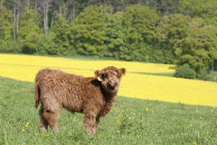 Vitello del bestiame dell'altopiano nella sorgente Immagine Stock