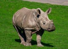 Vitello del rinoceronte, camminante verso sua madre fotografia stock
