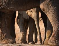 Vitello dell'elefante immagini stock libere da diritti