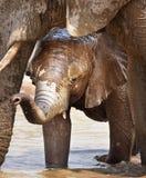 Vitello dell'elefante fotografia stock