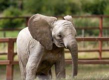 Vitello dell'elefante Immagine Stock Libera da Diritti