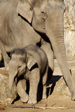 Vitello dell'elefante Fotografie Stock Libere da Diritti