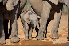 Vitello dell'elefante africano fotografia stock