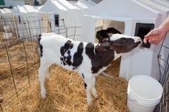 Vitello dell'Holstein Fotografia Stock Libera da Diritti