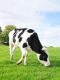 Vitello dell'Holstein fotografie stock libere da diritti