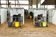Vitello dell'Holstein in una penna immagini stock libere da diritti