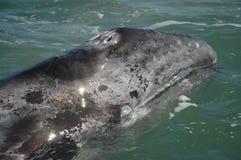 Vitello della balena grigia, Baja California Fotografia Stock Libera da Diritti