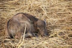 Vitello della Buffalo Fotografia Stock Libera da Diritti