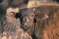 Vitello della Buffalo Immagine Stock