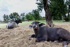 Vitello della Buffalo in Tailandia fotografie stock libere da diritti