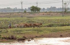 Vitello della Buffalo in Tailandia con l'agricoltore immagini stock libere da diritti