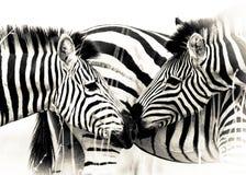 Vitello della madre della zebra fotografia stock libera da diritti
