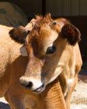 Vitello della mucca Fotografia Stock