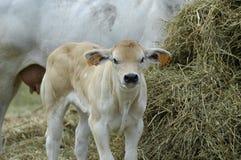 Vitello della mucca fotografia stock libera da diritti